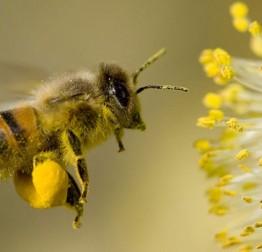 Grad osigurao šećer za prihranu pčela. Podjela šećera pčelarima u petak, 2. kolovoza u Lepoglavi
